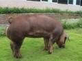 饲养生猪时,配制猪饲料该注意哪些事项?