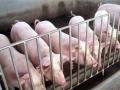 理想的养猪舍具备的6个设施,一件都不能少!