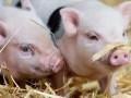 现在养猪是个千载难逢的良机吗?