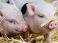 温氏辟谣未用非瘟疫苗防疫?牧原生猪出栏量竟下调?